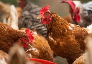 Chickens-droves-4460373_1920