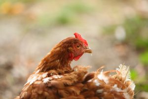 Laying-hens-1716422_1920